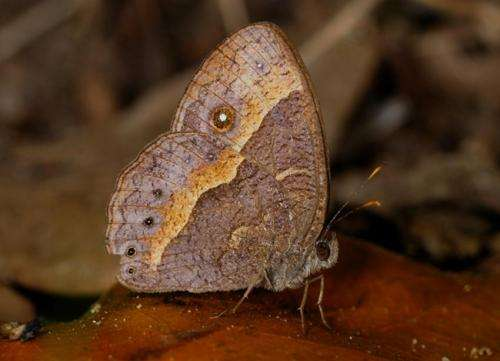 'Eyespots' in butterflies shown to distract predatory attack