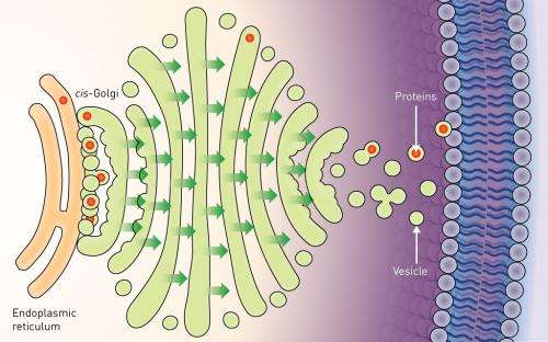 First direct observation of a key molecular transport mechanism in cells challenges previous models of the process