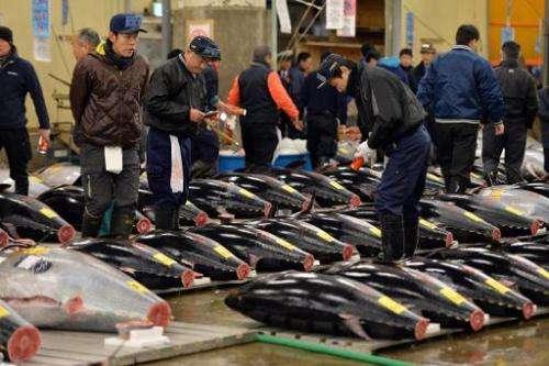 Fishmongers inspect bluefin tunas at Tokyo's Tsukiji fish market on January 5, 2014