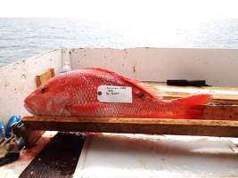 Fish skin lesions, oil residue decline in years after Gulf oil spill