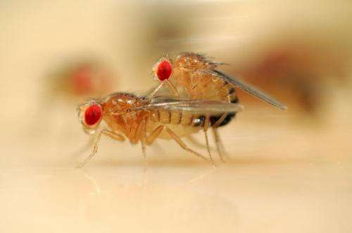Fruit fly research may reveal what happens in female brains during courtship and mating