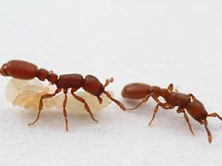 Genetically identical ants help unlock the secrets of larval fate
