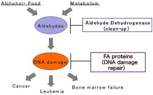Genotyping of Aldehyde dehydrogenase2 (ALDH2) solves the mystery of Fanconi anemia.