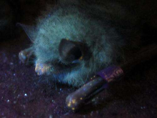 Glow-in-the-dark tool lets scientists find diseased bats