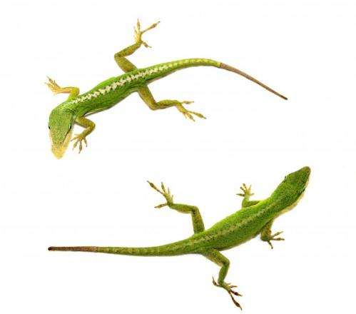 How lizards regenerate their tails: researchers discover genetic 'recipe'