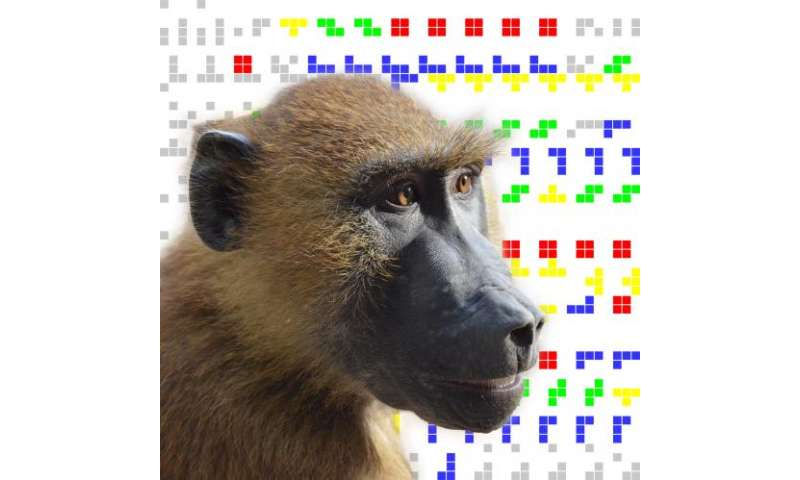 Humans and baboons share cumulative culture ability