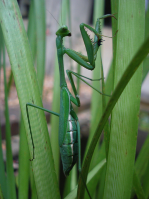 I like bright butts – how male mantids locate females