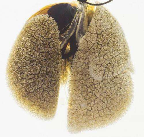 Team discovers lung regeneration mechanism