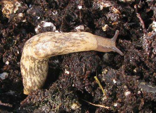 Insecticides foster 'toxic' slugs, reduce crop yields