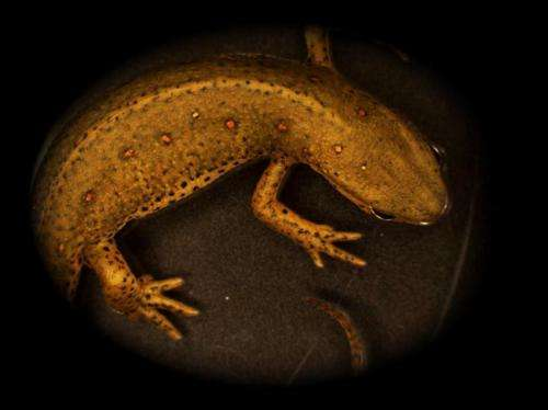Limb regeneration: Do salamanders hold the key?