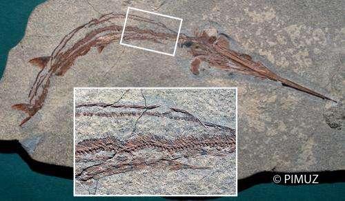 Mass extinction led to many new species of bony fish