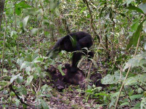 Natural born killers: Chimpanzee violence is an evolutionary strategy