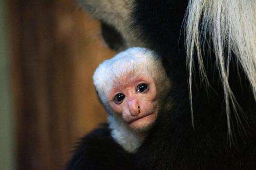 Newborn monkey is a real mummy's boy!