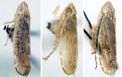 New leafhopper species named after University of Illinois entomologist