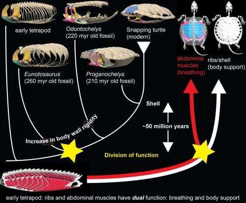 Origin of the unique ventilatory apparatus of turtles