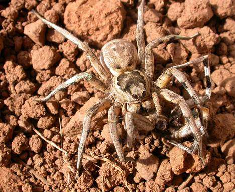 Personality determines whether tarantulas copulate with males or cannibalize them