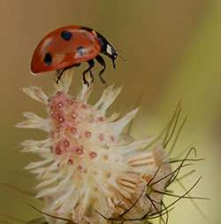 Radar reveals extraordinary ladybird flight paths