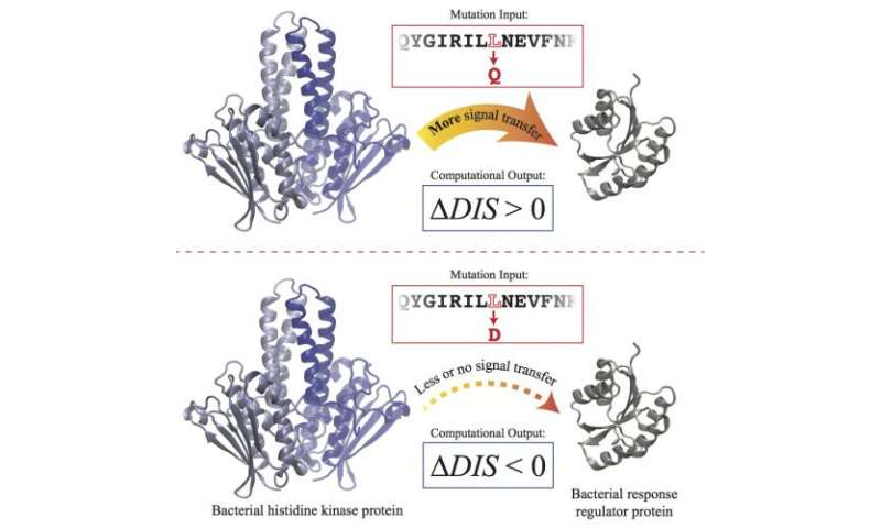 Researchers tune in to protein pairs: Team quantifies how mutations affect cell signaling in bacteria