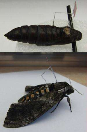 Research paves way for development of cyborg moth 'biobots'