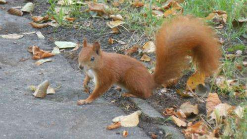 Research predicts how the squirrelpox virus could spread in grey squirrel populations
