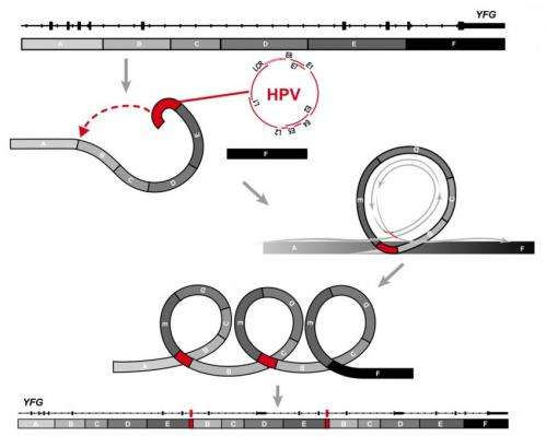 Research uncovers DNA looping damage tied to HPV cancer