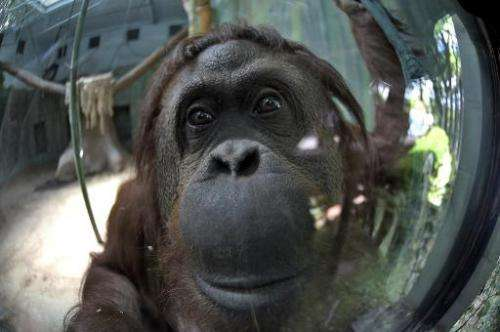 Sandra, a 29-year-old orangutan, gestures at Buenos Aires' zoo, on December 22, 2014