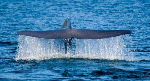 Study on world's biggest animal finds more than 1 population in the southeastern Pacific