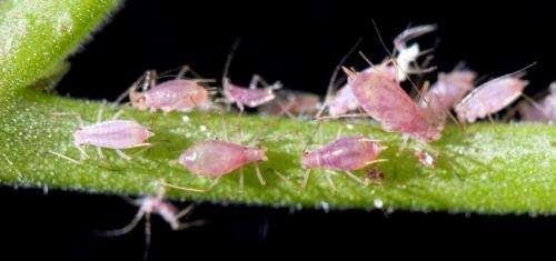 The betrayal of the aphids