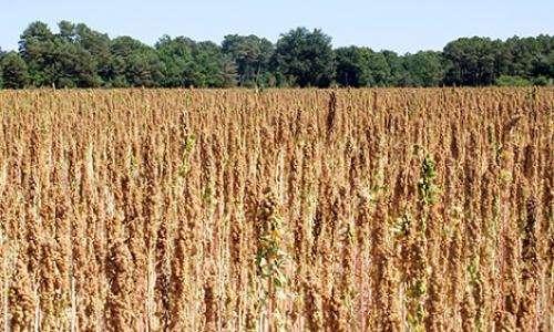 Three new quinoa cultivars for varying climates