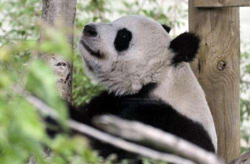 Tian Tian, the female giant panda relaxes in her compound at Edinburgh Zoo on August 9, 2013