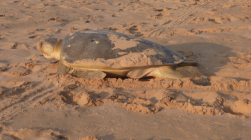 Turtle populations benefit from cooler rookery