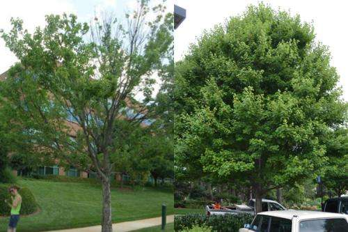 Urban heat boosts some pest populations 200-fold, killing red maples