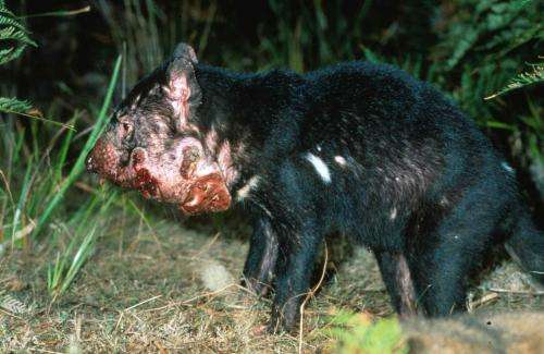 What's killing Tassie devils if it isn't a contagious cancer?