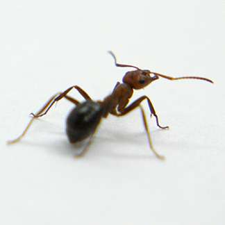 With their amazing necks, ants don't need 'high hopes' to do heavy lifting