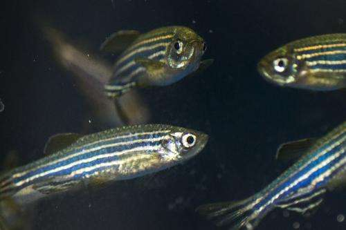 Zebrafish model of a learning and memory disorder shows better way to target treatment