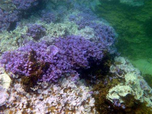Scientists see bleached coral in northwest Hawaii