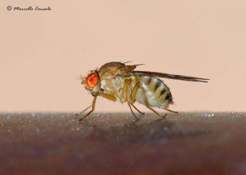 Muscular disease research advanced with flies and mice