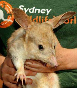 A photo taken on September 11, 2009 shows a nocturnal male bilby at Sydney Wildlife World