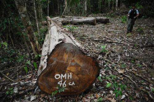 Environmental activists are seen uncovering an illegal wood-cutting site at the Trairao Amazonic forest reserve in northern Braz