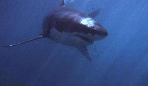 File photo shows a great white shark