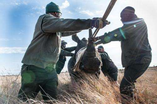 Members of the Kruger National Park Veterinary Wildlife Services in South Africa relocate a sedated white rhino from a high-risk