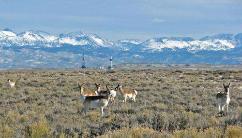 Study identifies gauntlet of obstacles facing migrating pronghorn in greater Yellowstone