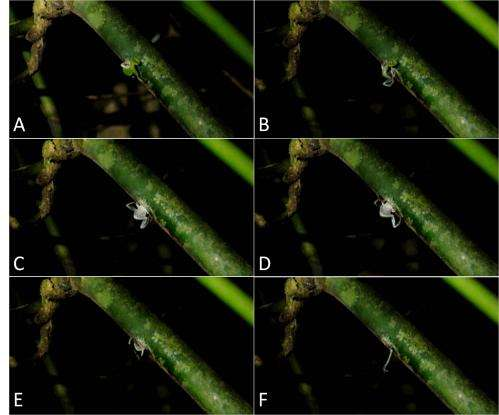 Researchers discover for the first time that a rare bush frog breeds in bamboo