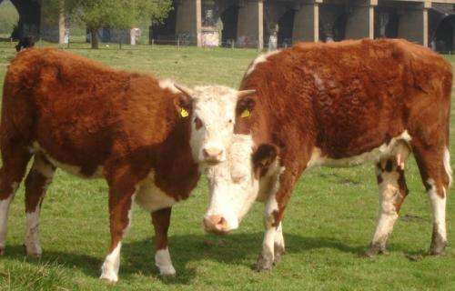 Researchers listen in on 'conversations' between calves and their mothers