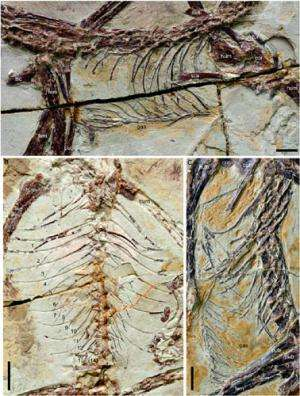 Scientists reveal the complex early evolution of the bird's 'breastbone'
