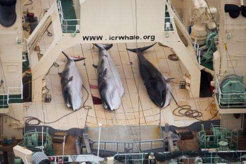 A handout photo taken on January 5, 2014 by Sea Shepherd Australia Ltd shows three minke whales dead on the deck of the Japanese