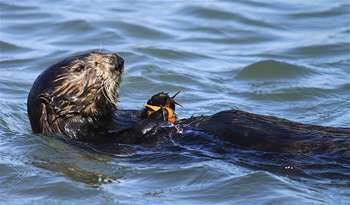 California's sea otter numbers holding steady