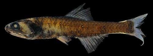 Distinctive flashing patterns might facilitate fish mating
