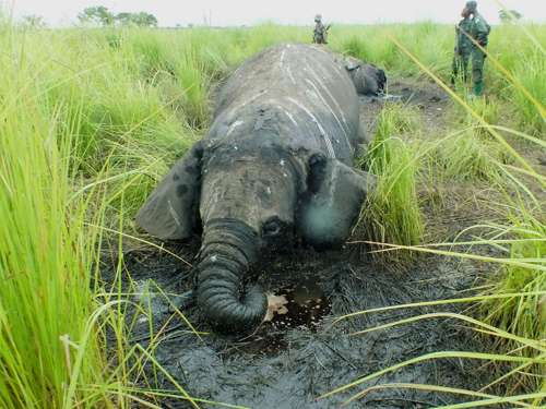 Emergency appeal to combat militant elephant poaching in DRC