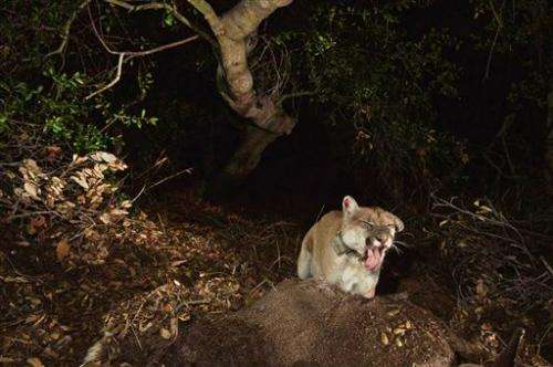 Famed Los Angeles mountain lion appears recovered